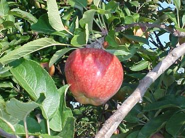 Apple_on_tree