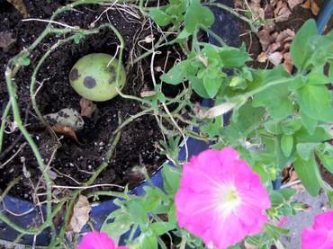 Pot_walnut